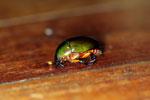 Jewel beetle -- sabah_2719