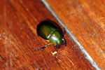 Jewel beetle -- sabah_2722