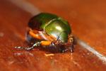 Jewel beetle -- sabah_2727