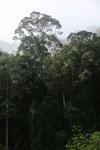 Danum Valley rainforest -- sabah_2787