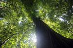 Rainforest tree in Sabah -- sabah_2804