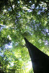 Rainforest tree in Sabah -- sabah_2840