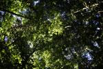 Borneo rainforest -- sabah_2851