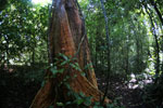 Borneo rainforest -- sabah_2866