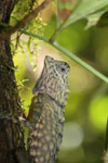 Forest Dragon (Gonocephalus liogaster)