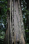 Rainforest tree with lianas