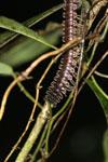 Milipede -- sabah_2954