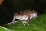 Unidentified frog -- sabah_2957