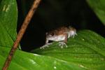 Unidentified frog -- sabah_2958