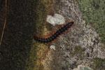 Milipede -- sabah_2963