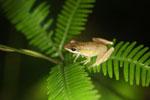 Unidentified frog -- sabah_3010