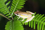 Unidentified frog -- sabah_3011
