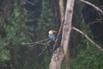 Stork-billed Kingfisher (Pelargopsis capensis) in Borneo -- sabah_3036
