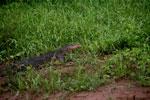 Monitor lizard -- sabah_3055