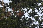 Proboscis monkey -- sabah_3087