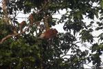 Proboscis monkey -- sabah_3088