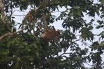 Proboscis monkey -- sabah_3089