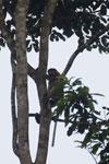Proboscis monkey -- sabah_3095