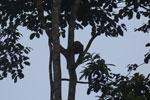 Proboscis monkey -- sabah_3098