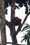 Proboscis monkey -- sabah_3104