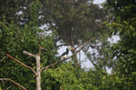 Oriental Pied Hornbill eating fruit -- sabah_3132