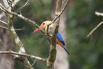 Stork-billed Kingfisher in Borneo -- sabah_3149