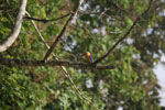Stork-billed Kingfisher (Pelargopsis capensis) -- sabah_3176