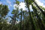 Reforestation project in Borneo using native species  -- sabah_3245