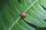 Orange beetle with black polkadots -- sabah_3246