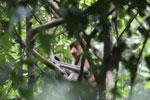 Proboscis monkey -- sabah_3324