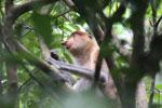 Proboscis monkey -- sabah_3325