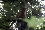 Proboscis monkey -- sabah_3331