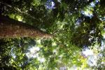 Rainforest dipterocarp -- sabah_3382