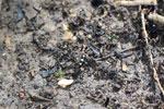 Spotted tiger beetle (Cicindela aurulenta) -- sabah_3400