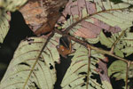 Unknown bat -- sabah_3614