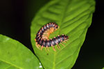 Purple and orange centipede -- sabah_3618