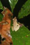 Frog -- sabah_3631