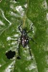 Black katydid with turquoise spots -- sabah_3638