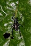 Black katydid with turquoise polkadots -- sabah_3639