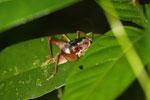 Cricket -- sabah_3641