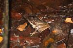 Mating frogs -- sabah_3654