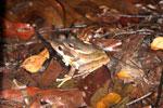 Mating frogs -- sabah_3655