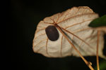 Black pill millipede -- sabah_3691