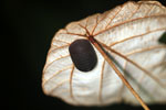 Black pill millipede -- sabah_3692