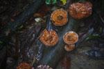 Fungi -- sabah_3721