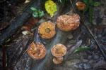 Fungi -- sabah_3722