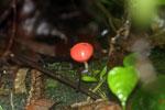 Red cup mushroom -- sabah_3731