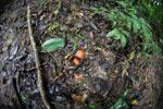 Seed pod -- sabah_3805