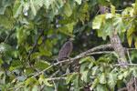Crested Serpent Eagle (Spilornis cheela) -- sabah_3820