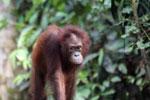 Borneo orangutan -- sabah_3856